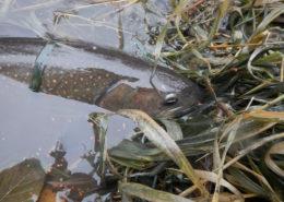 Trifecta of Fish on the Walla Walla River