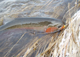 Hit the Tribs for Blue Mountain Steelhead